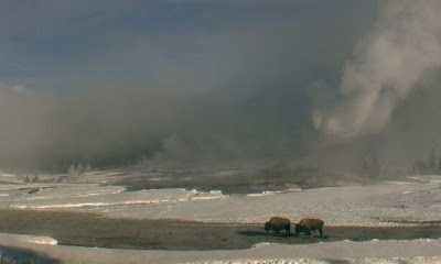 Two buffalo in front of Old Faithful Geyser in Yellowstone National Park.