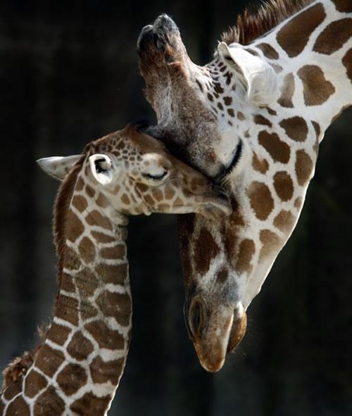 ... al mundo bellas crìas . ¡ la jirafa ya salta con sus añtas patas