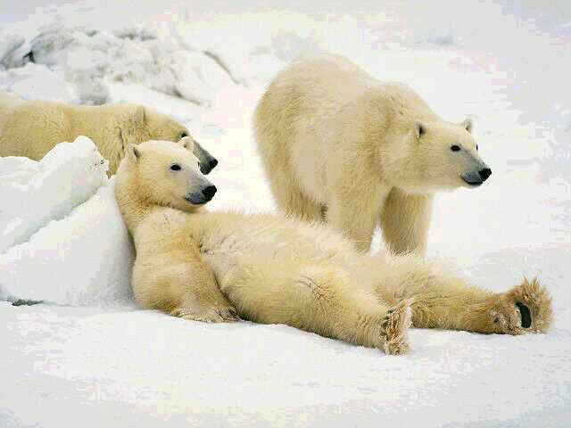 lazy polar bears