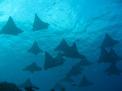 spotted eagle rays on saipan