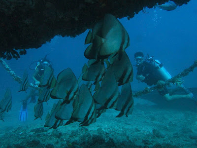 longfin spadefish philippines