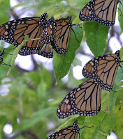 Monarch butterflies resting on Texas tree on way to Mexican overwintering sites.  Photographer: Mike Merchant