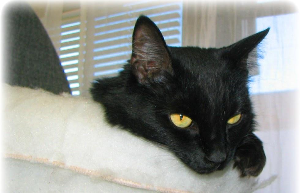 Japanese Black Cat Superstition