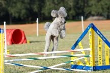 Jenna of Black Tie Standard Poodles In Ocala Fl