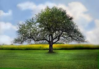 apple tree in summer www
