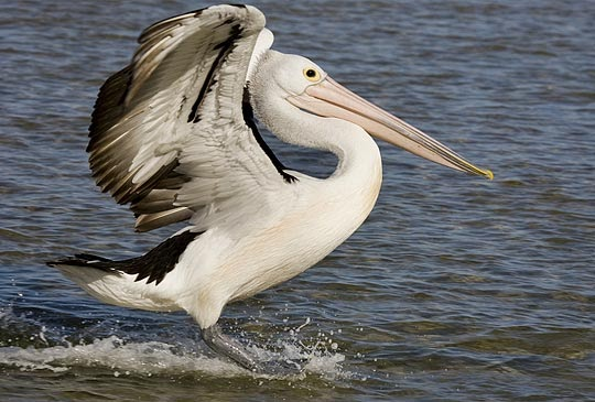 O Pelicano Distribuidora D.P: Sou um Pelicano n...