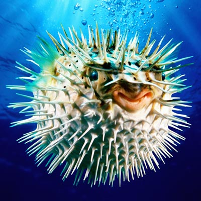 The Medical Secrets Of Animals Puffer Fish Toxin For