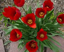 Perennial Bulbs