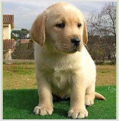 Labrador bebé