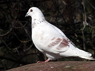 Pigeons Arrested in Espionage Charges