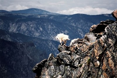 North America - mountain goats picture