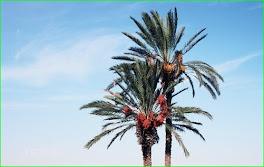 Palmes ,palmier, à l'ombre il fait meilleur