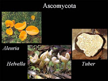 Ascomycota