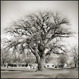 Cotton Wood Tree at San Ildefoso Pueblo - New Mexico - Brandon Allen