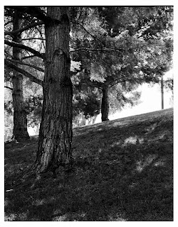Trees on UVSC Campus - Brandon Allen - Large Format Black and White