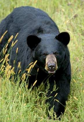 UMO Black Bears