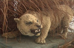The Zanzibar Leopard