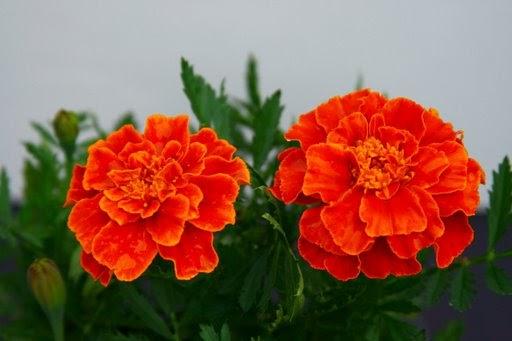 Tomato Addict: Marigolds Marigold Plant With Roots