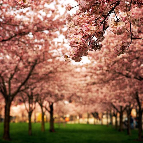 Nabila With Monsterland ˜� Cherry Blossom Tree