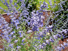 ~Russian Sage~