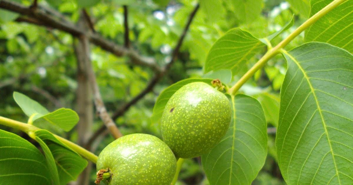 plantas medicinales del ecuador