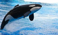 Shamu, the killer whale