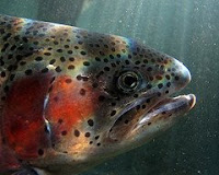 Sperm from rainbow trout exposed to the synthetic estrogen in birth control pills can have the wrong number of chormosomes