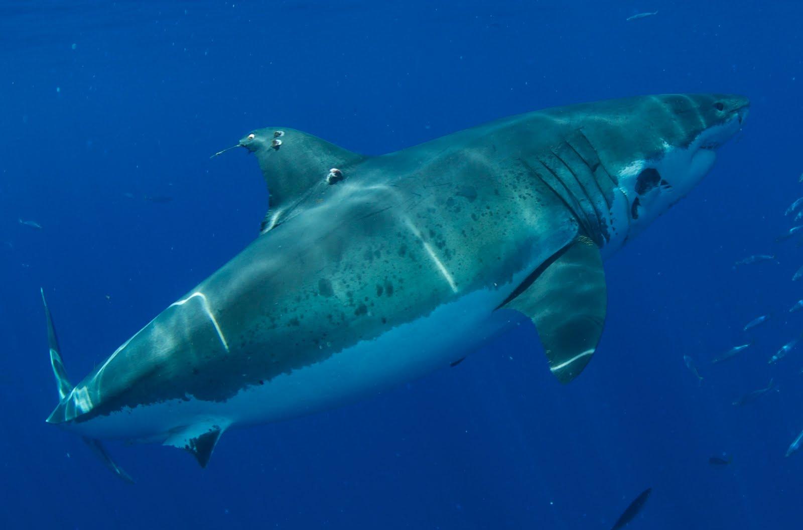 the shark diving international team blog isla guadalupe