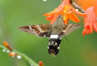Mariposa que se parece com beija-flor
