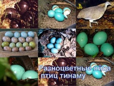 Разноцветные яйца птиц тинаму