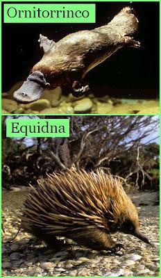 Animales Monotremas, el ornitorinco y el equidna