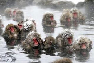 Japanese Snow Monkeys, Japan, monkeys