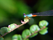Damselfly, blue and red11