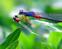 Damselfly, blue and red4