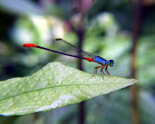 Damselfly, blue and red9