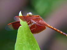 Liver red dragonfly5