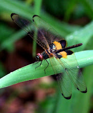 Bumblebee dragonfly4