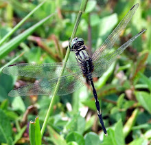 Green and black dragonfly5