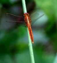 Orange dragonfly1