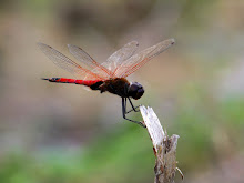 Brown and red dragonfly1