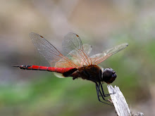 Brown and red dragonfly3