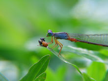 Damselfly, blue and red14