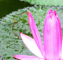 Damselfly mating1