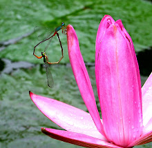 Damselfly mating7