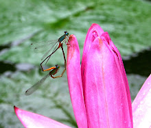 Damselfly mating11