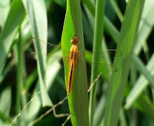 Orange Dragonfly2