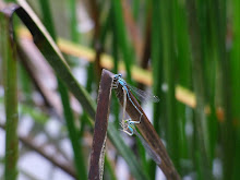 Blue Damselfly mating1