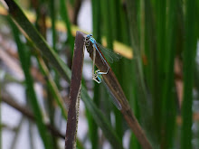 Blue Damselfly mating3