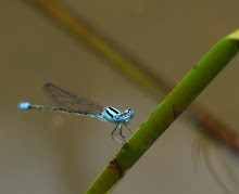 Blue Damselfly3