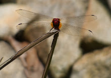 Red Dragonfly10